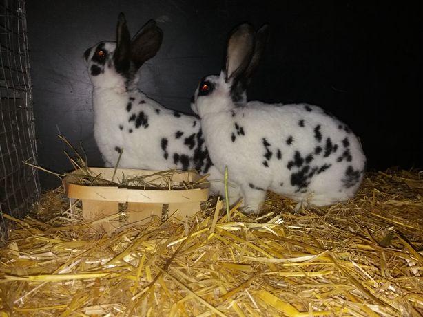 Рекс, окрас Долматин, кроликі