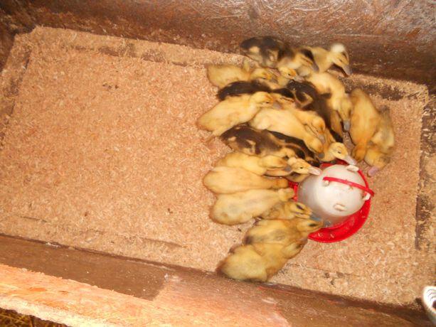 kaczki staropolskie