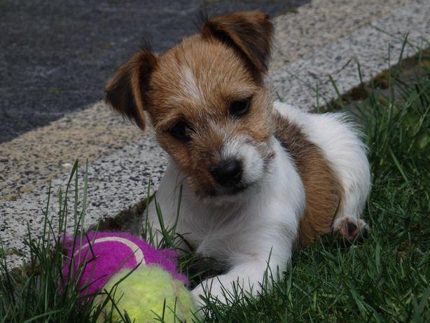 Jack Russell Terrier suczka Plamka od SMARTIE JACKS
