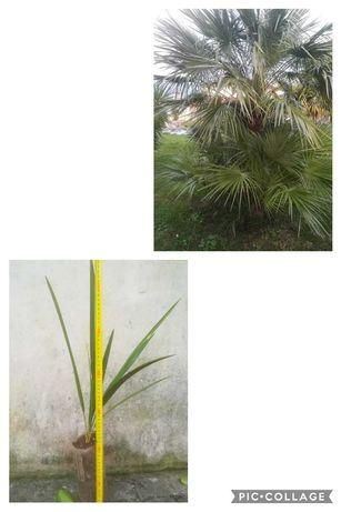 Palmeira vassoureira