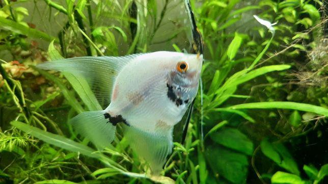 Скалярия  аквариумные рыбки