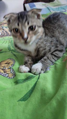 Кот,смесь шотландца