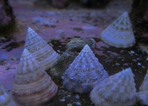Akwarium morskie - Tectuspyramis