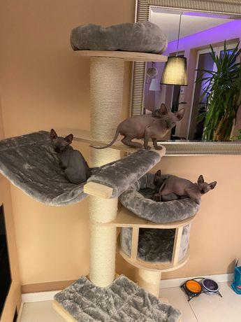 Sphynx kocięta z rodowodem