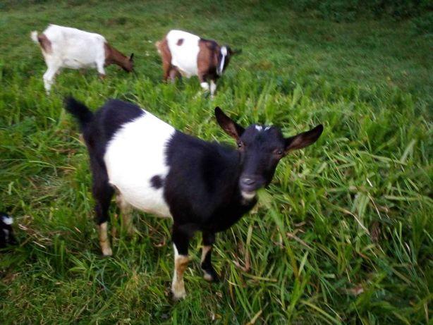 Продаю молодых коз, смешанной породы зааненской и альпийской.