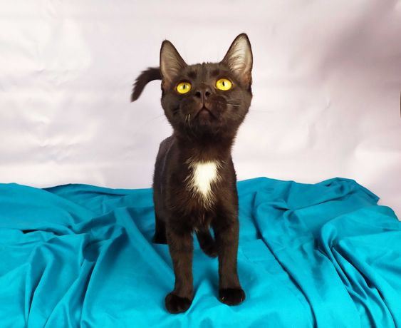 Лапочка Фокус ждет вас в гости, 4-4.5 мес, окрас черный, кошка, кот