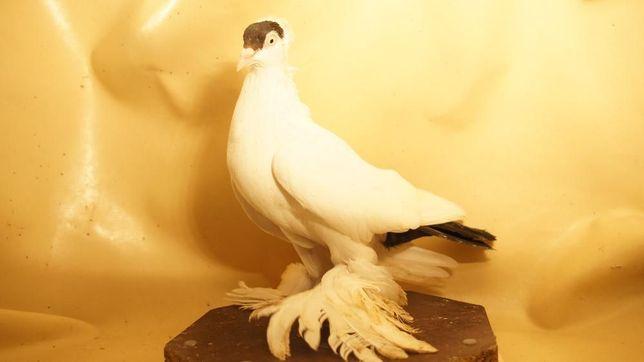 ptaki ozdobne gołębie