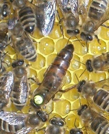 Пчелопакеты Карника Леклер ( Lekler) в 2021 г.