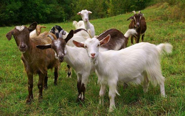Продаются козы от заводчика.