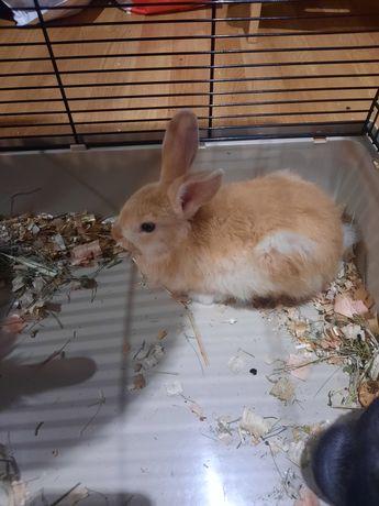 Oddam miniaturke królika