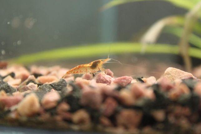 Креветки  неокаредины