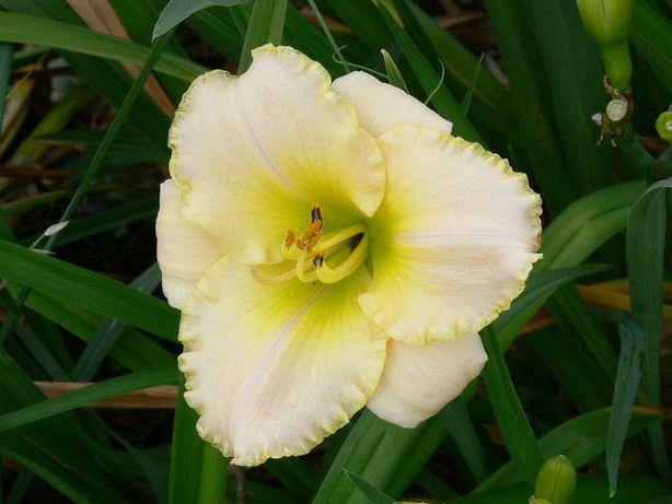 Liliowiec GLACIER BAY sadzonka dwa pędy, drugi liliowiec gratis