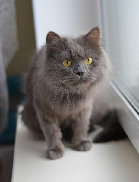 сірошубик котичок нібелінг 2р