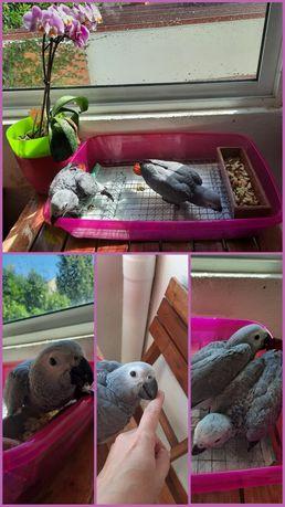 Papagaios cinzentos de rabo vermelho
