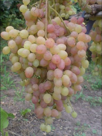 Саженци винограда и клубники