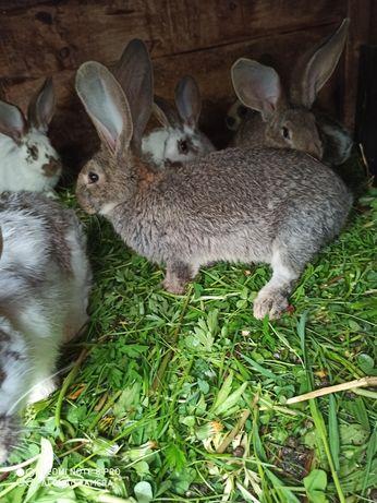 Belgijski młode króliki