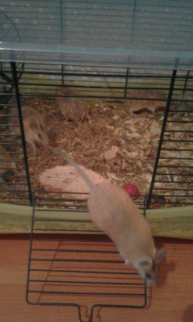 Mysz kolczasta egipska