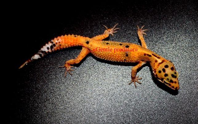 Эублефар - удивительный геккончик, который Вам всегда улыбается.
