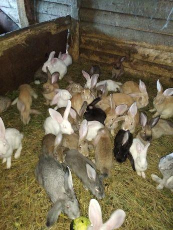 кролики мешаных пород