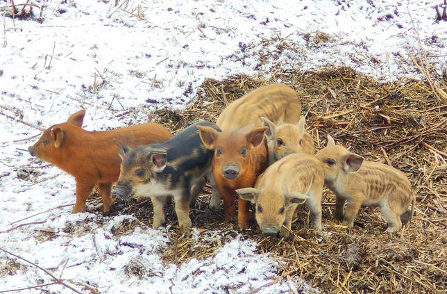 УГОРСЬКА ПУХОВА МАНГАЛИЦЯ 100% поросята, кнурі, свиноматки.