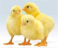 Бройлер суточный кобб 500,росс 708,цыплята,курчата
