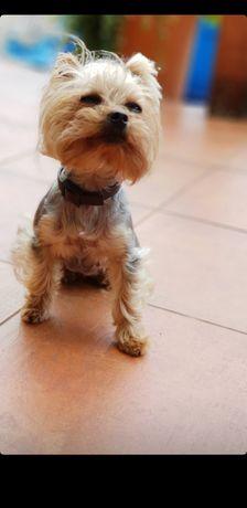 Пропала собака йоркширський тер'єр