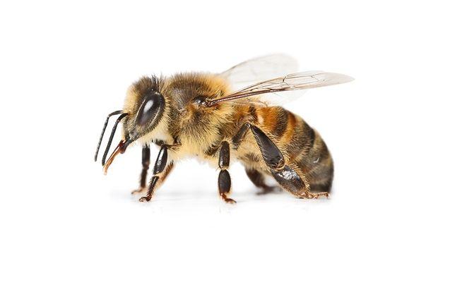 Pszczoły,rodziny pszczele