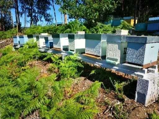 Enxames de abelhas para colmeias Lusitana ou Reversível
