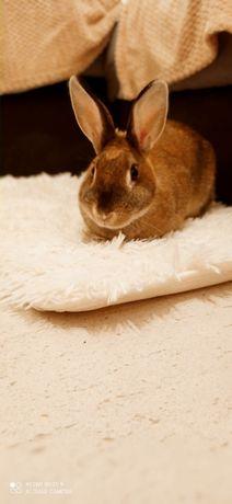 królik miniaturka pilne