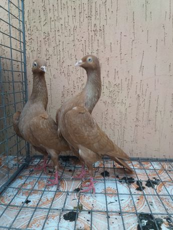 Продам голубів породи старагарський шиєбійний турман
