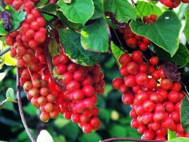 Plantas de Bagas dos 5 sabores