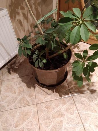 Szeflera drzewkowata