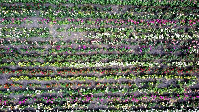 Саженцы роз Оптом и в розницу (лето-осень)