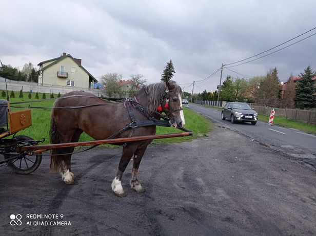 Koń klacz źrenica Źrebna 850 kg