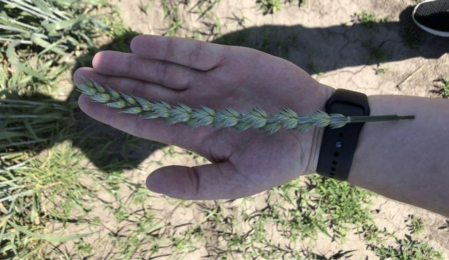 Продам пшеницу сорт Леннокс (Канада, двуручка)