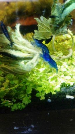 Blue Velvet neocaridiny