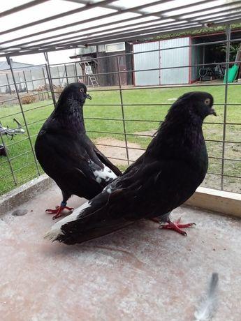 Orliki lubelskie czarne