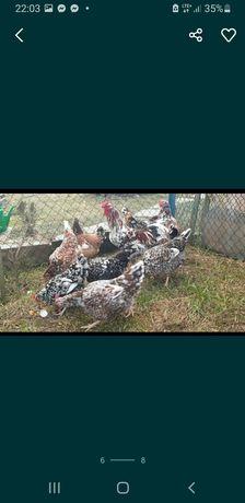 Jaja legowe kur zagrodowych koguty zagrodówki kwieciste podkarpackie