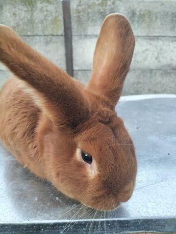Sprzedam królika z rodowodem!!!