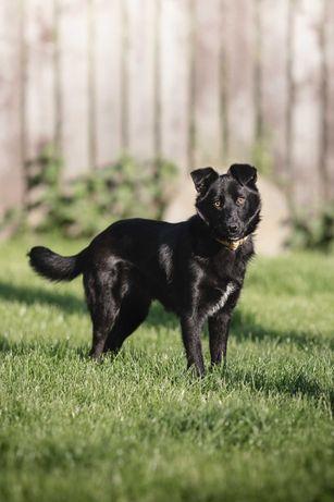 Zordon - pies w typie border collie do adopcji