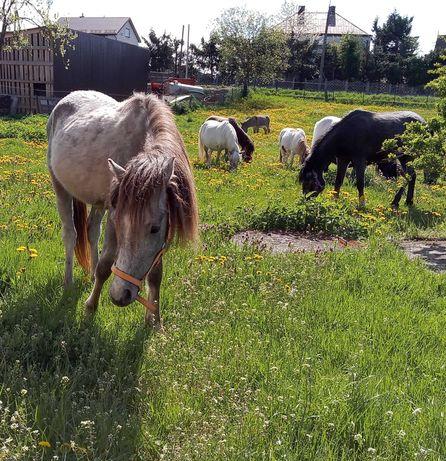 Wałaszek kuc mały koń