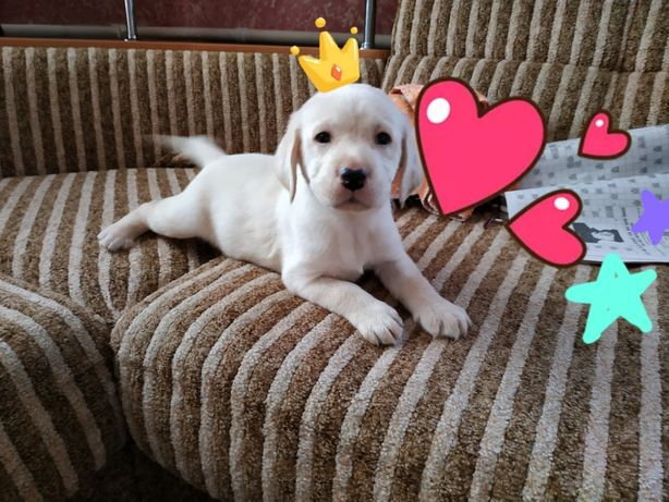 Лабрадор щенок Премиум класса