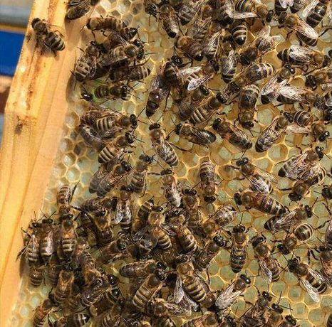 Проверенные Бджоломатки Карпатка. Мічені Весь сезон.