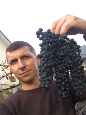 Черенки, винных и гибридных сортов винограда.