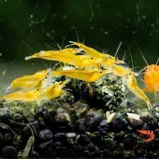 GB Krewetki Neocaridina Heteropoda ORANGE