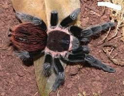 brachypelma vagans пушистый птицеед новичку,есть доставка. павук паук