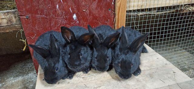 Młode króliki mieszane
