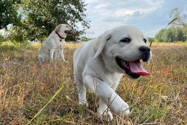 Labradory bardzo jasne biszkoptowe - szczenięta - rodowód ZKwP, FCI