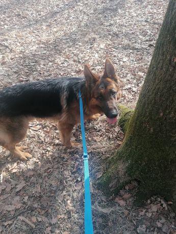 Owczarek niemiecki krótkowłosy FCI pies