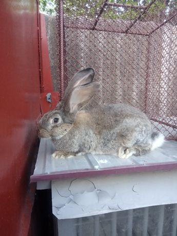 Продам кроликов порода фландер
